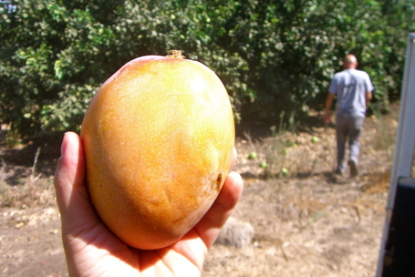 Freshly liberated mango near the Sea of Galilee