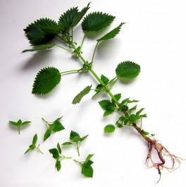 Stinging nettles, young and old