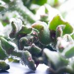 Ficoide Glaciale (A Type of Ice Plant) – Wordless Wednesday Two